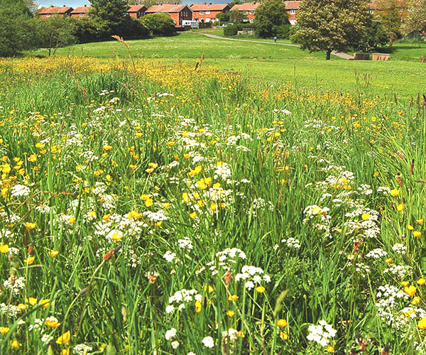 A wildflower meadow with white and yellow blooms