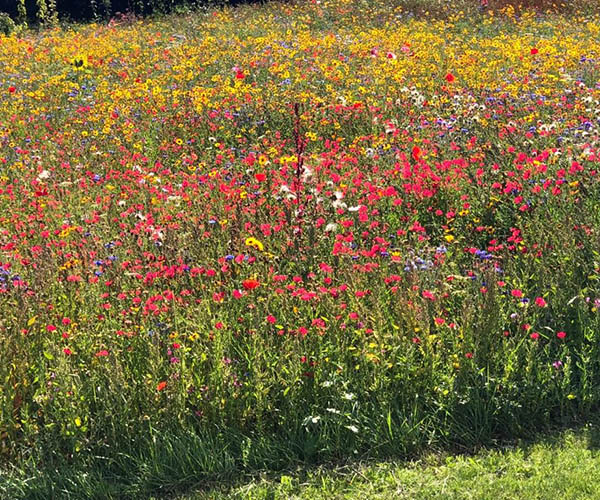 A wildflower meadow with multi-coloured blooms