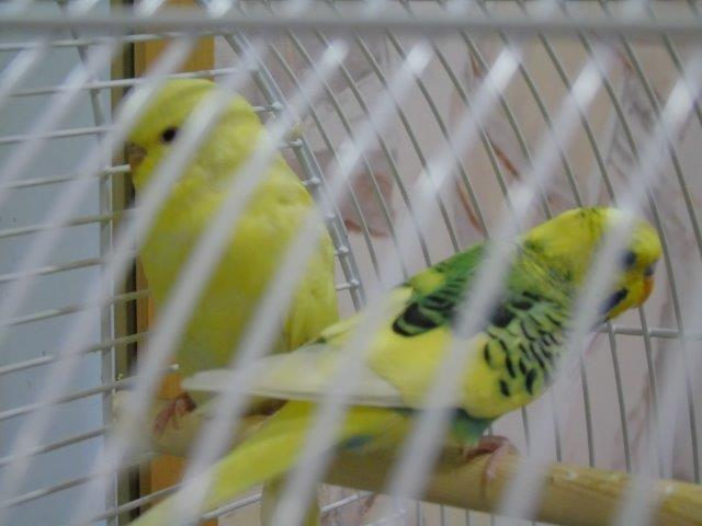 two budgies at Oban Court