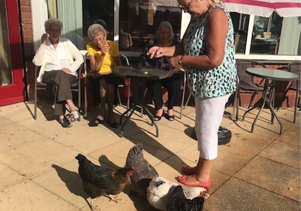 chickens being fed by residents